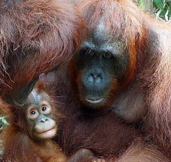 looking in on orang baby 332 350