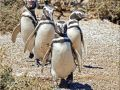 Magellanic penguins on Puerto Madryn  Argentina